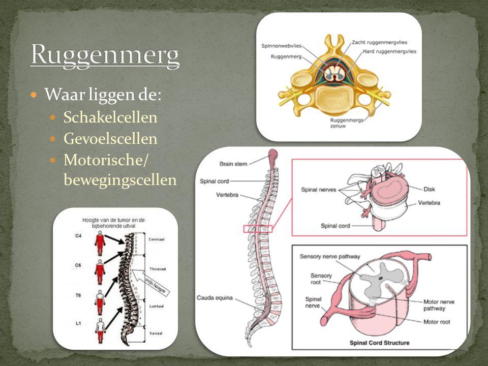 Ruggenmerg Waar liggen de: Schakelcellen Gevoelscellen