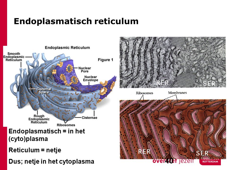 Endoplasmatisch reticulum