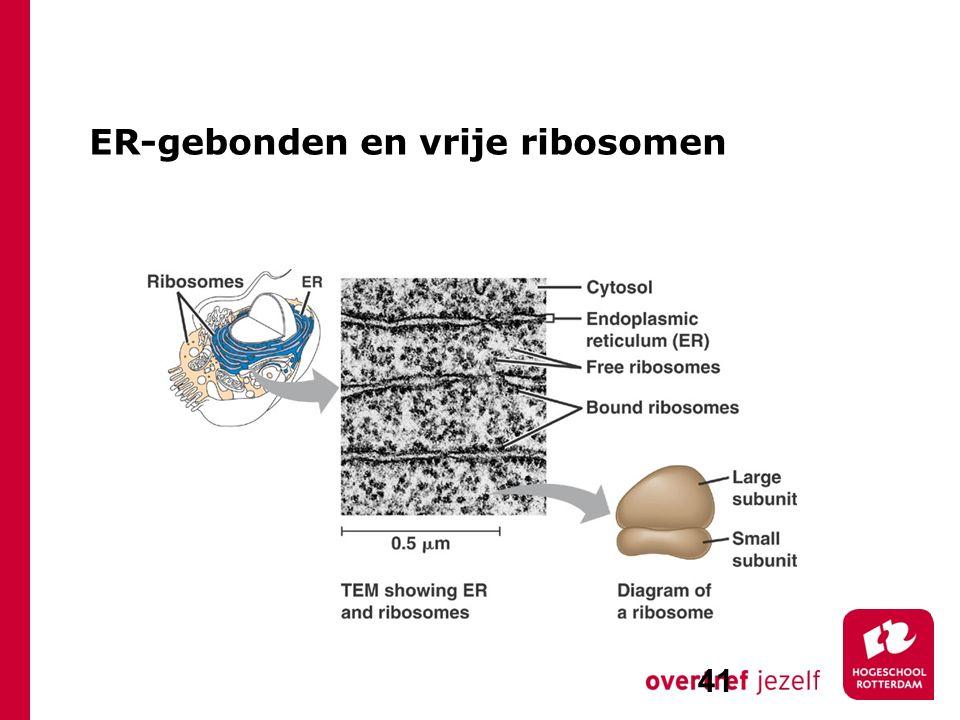 ER-gebonden en vrije ribosomen