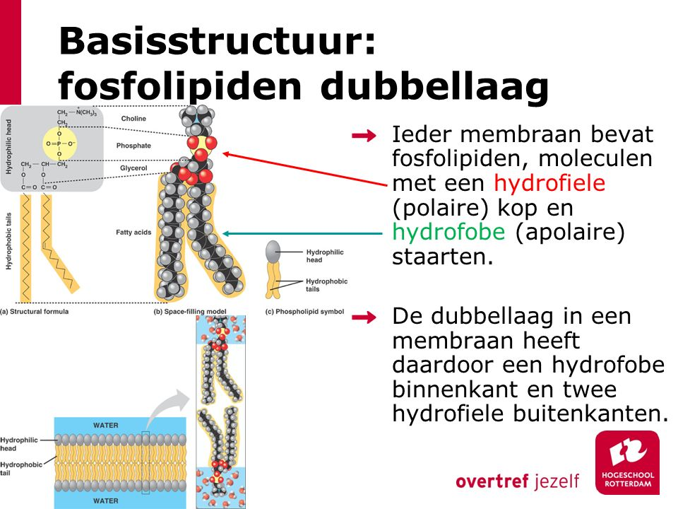 Basisstructuur: fosfolipiden dubbellaag
