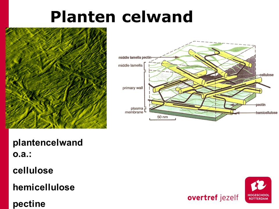 Planten celwand plantencelwand o.a.: cellulose hemicellulose pectine