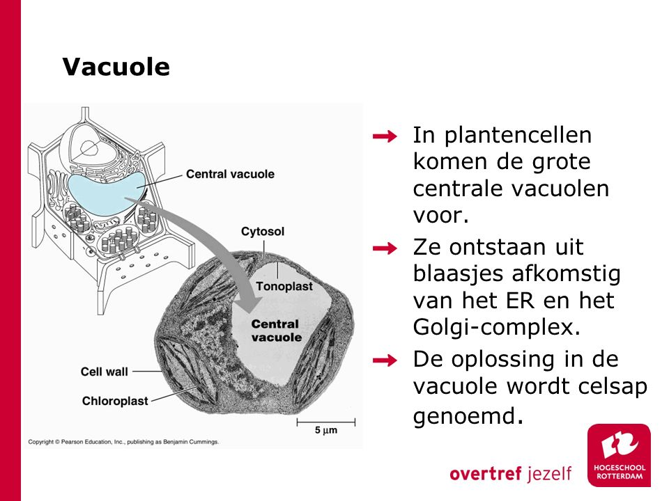 Vacuole In plantencellen komen de grote centrale vacuolen voor.