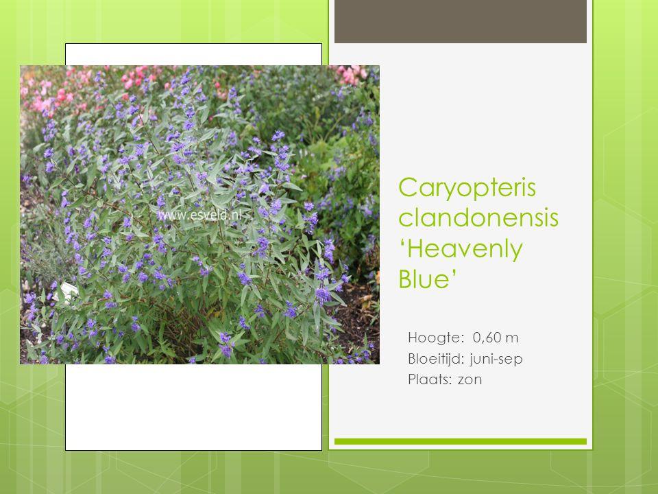 Caryopteris clandonensis 'Heavenly Blue'