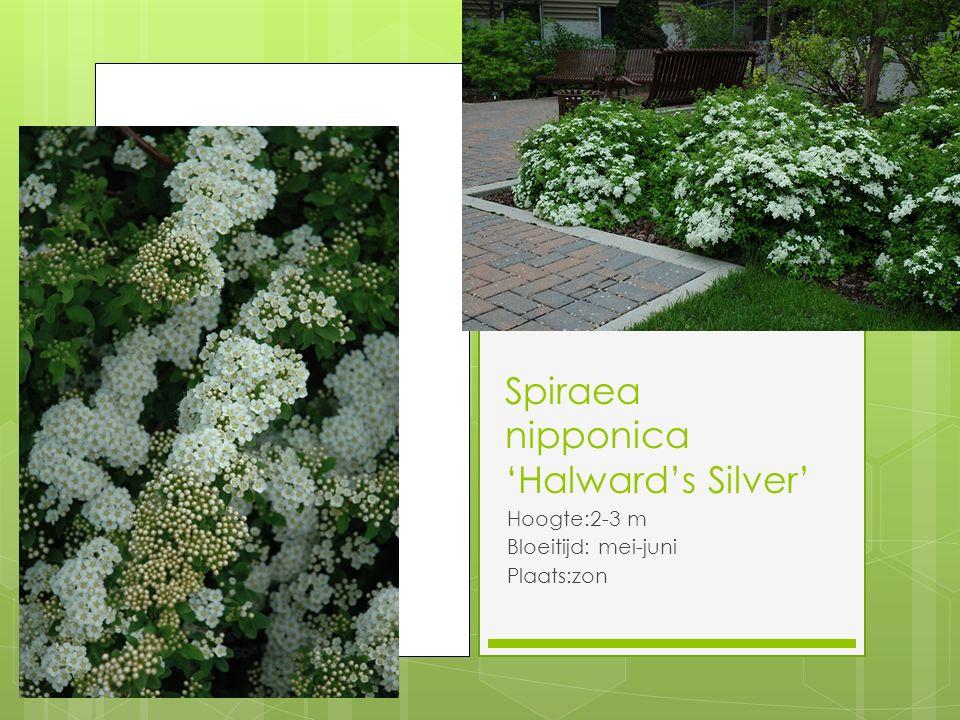 Spiraea nipponica 'Halward's Silver'