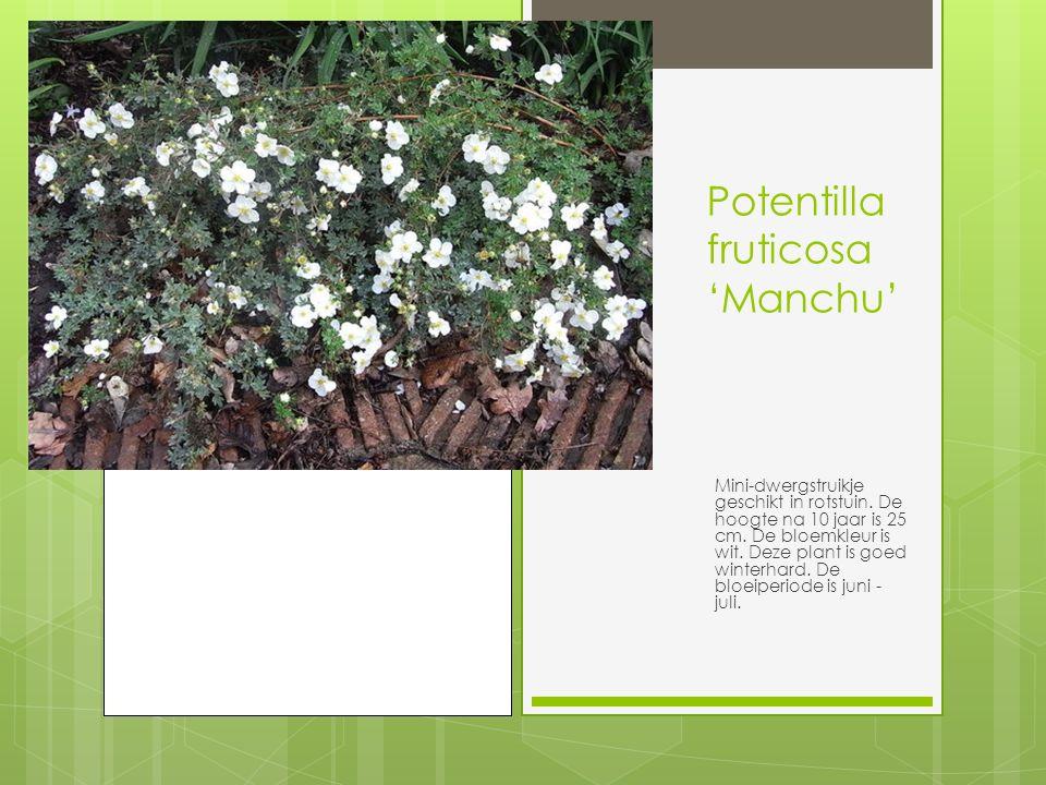 Potentilla fruticosa 'Manchu'