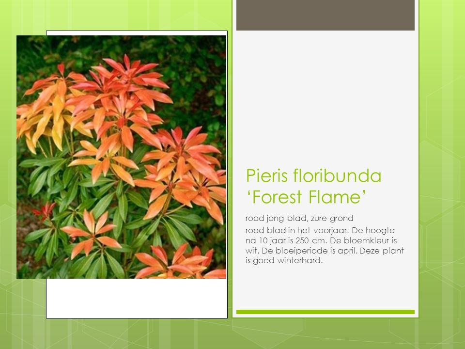 Pieris floribunda 'Forest Flame'