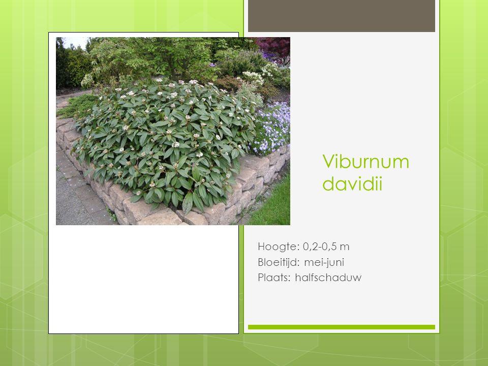 Viburnum davidii Hoogte: 0,2-0,5 m Bloeitijd: mei-juni