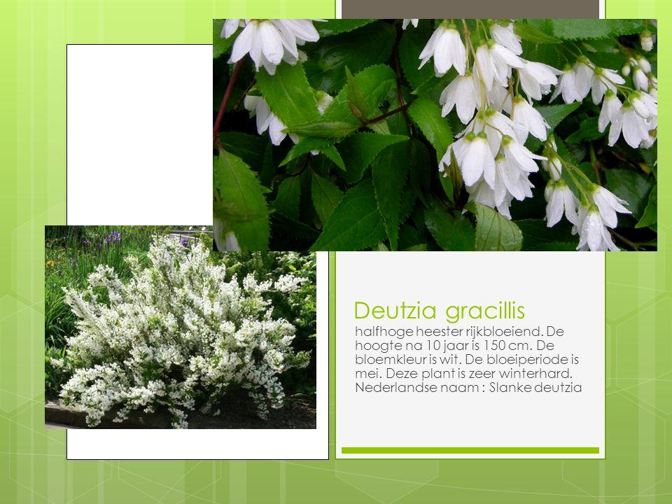 Deutzia gracillis