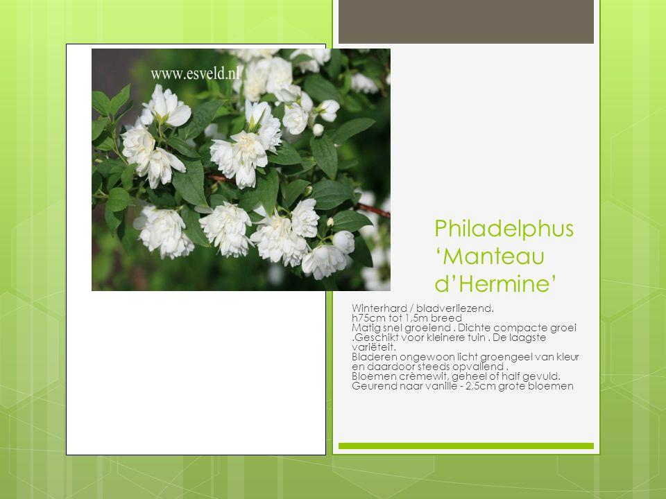 Philadelphus 'Manteau d'Hermine'