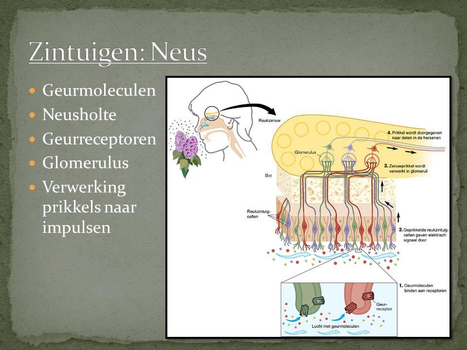 Zintuigen: Neus Geurmoleculen Neusholte Geurreceptoren Glomerulus