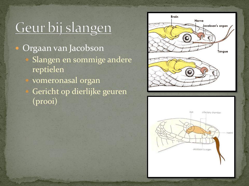 Geur bij slangen Orgaan van Jacobson