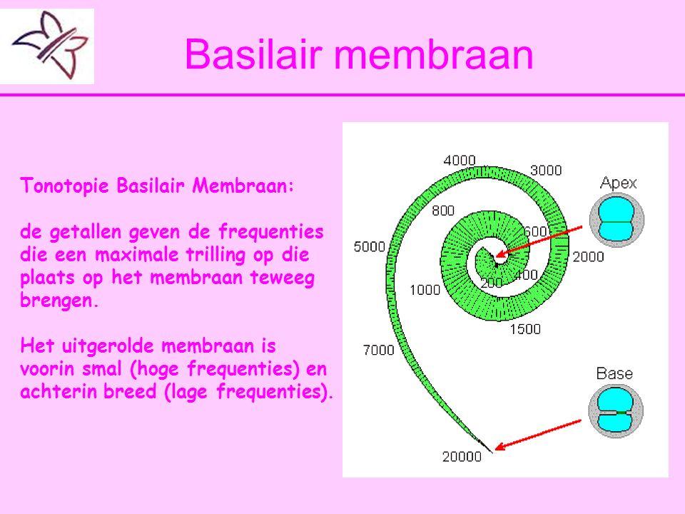 Basilair membraan Tonotopie Basilair Membraan: