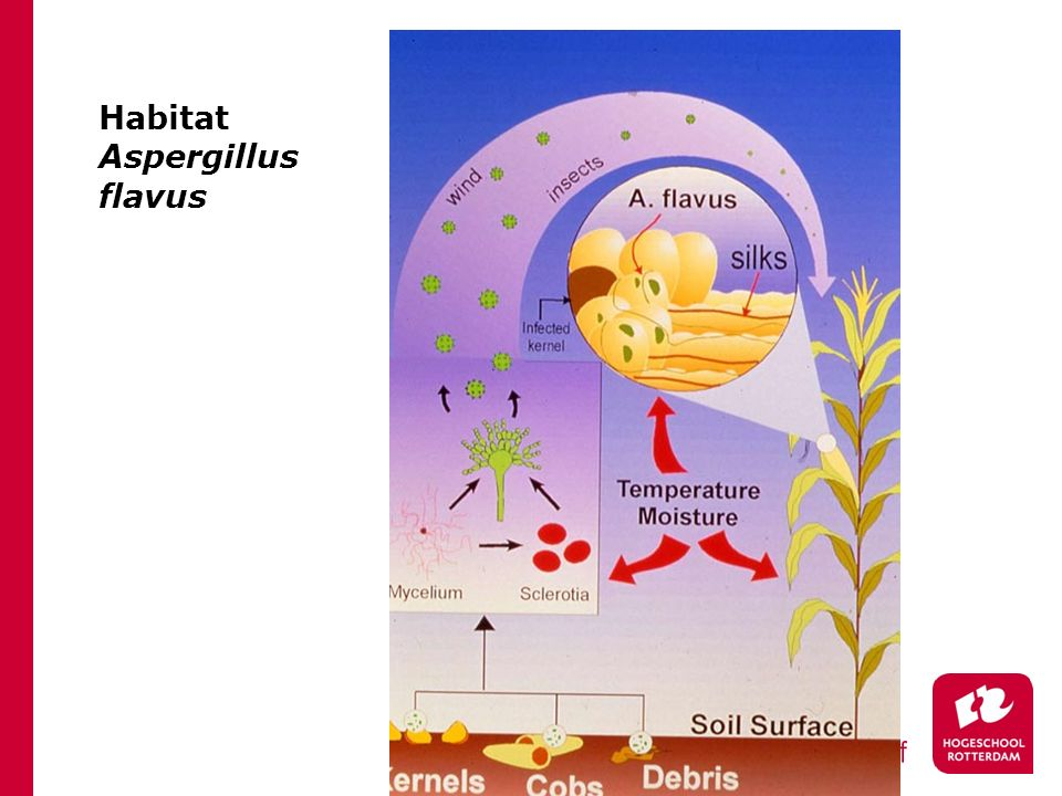 Habitat Aspergillus flavus