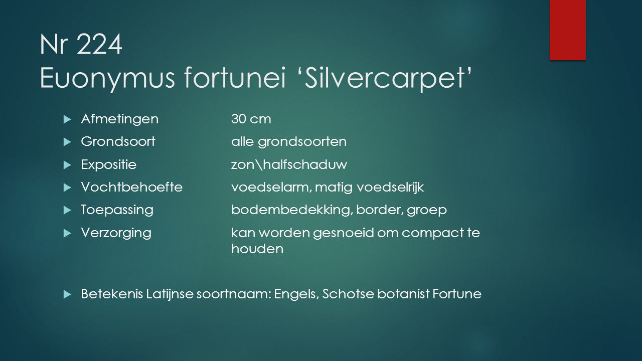 Nr 224 Euonymus fortunei 'Silvercarpet'
