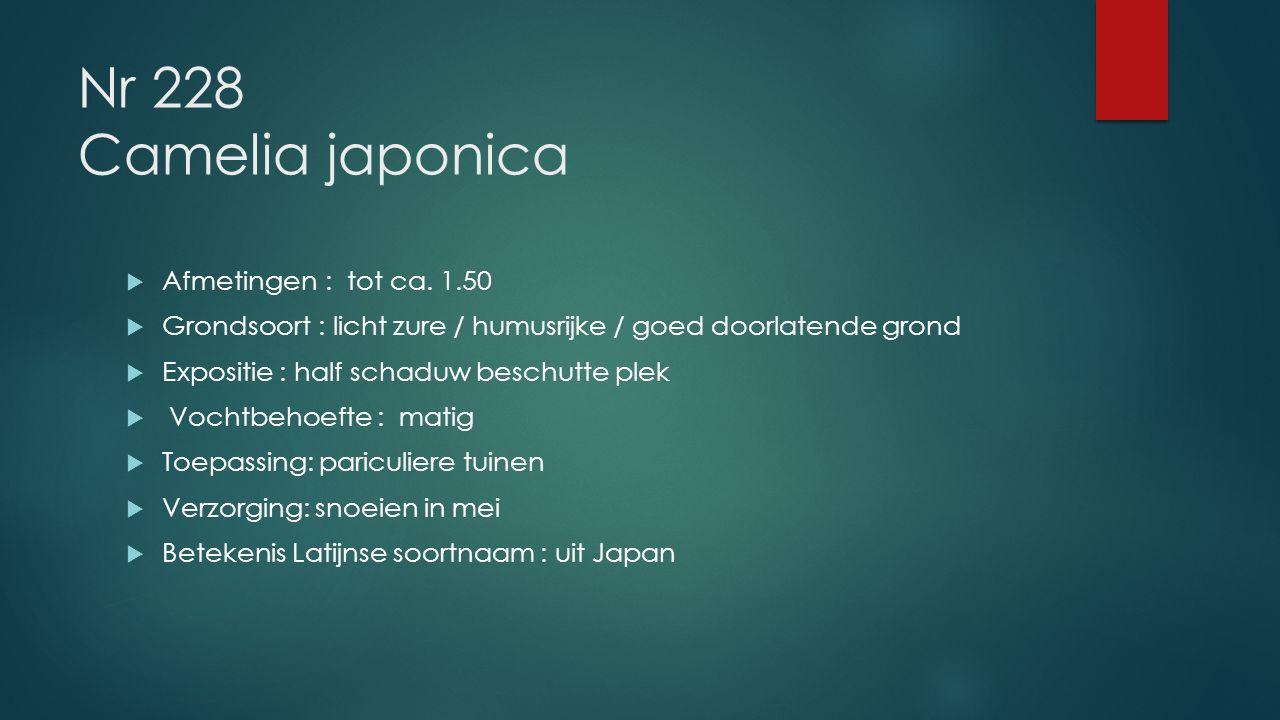 Nr 228 Camelia japonica Afmetingen : tot ca. 1.50