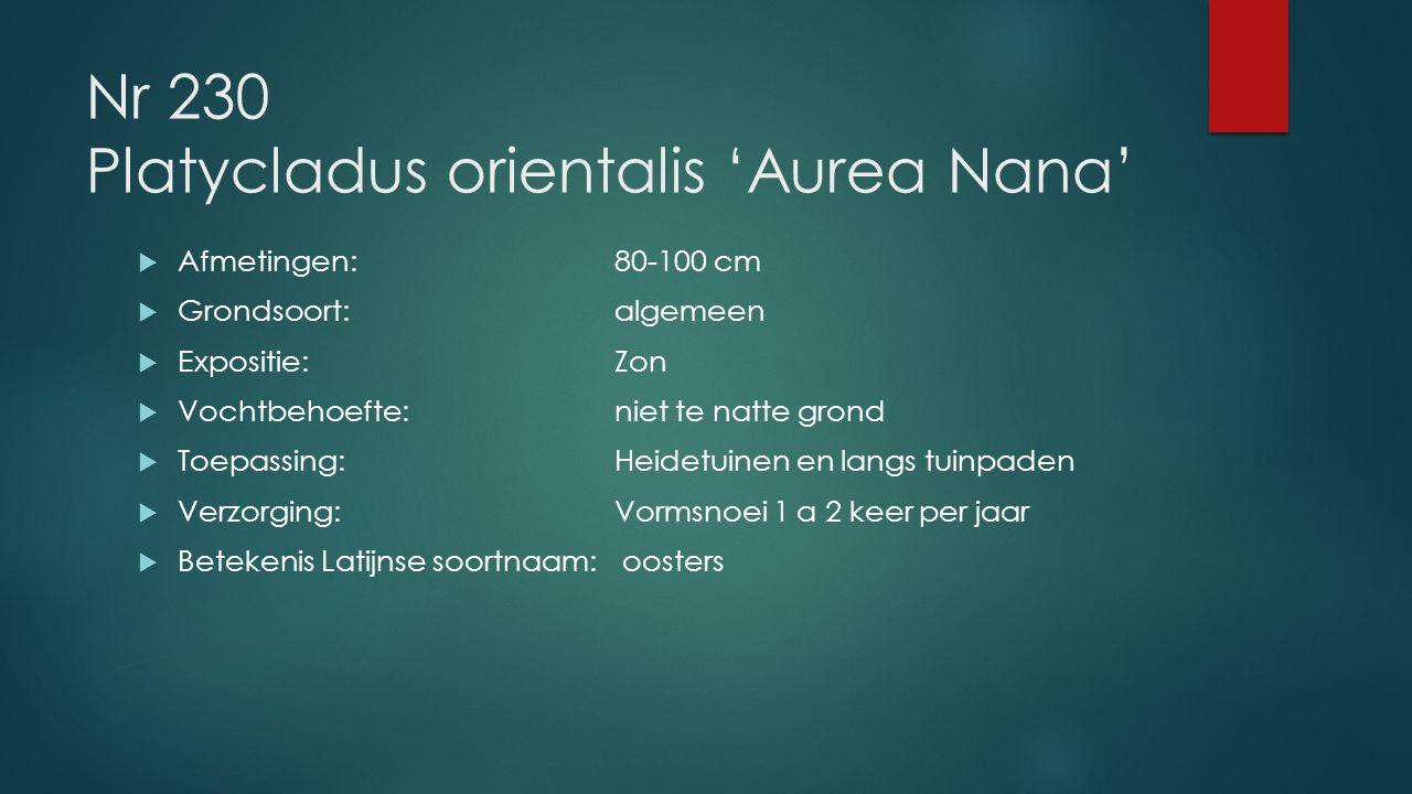 Nr 230 Platycladus orientalis 'Aurea Nana'