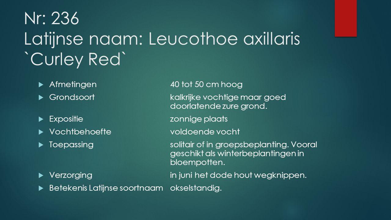 Nr: 236 Latijnse naam: Leucothoe axillaris `Curley Red`