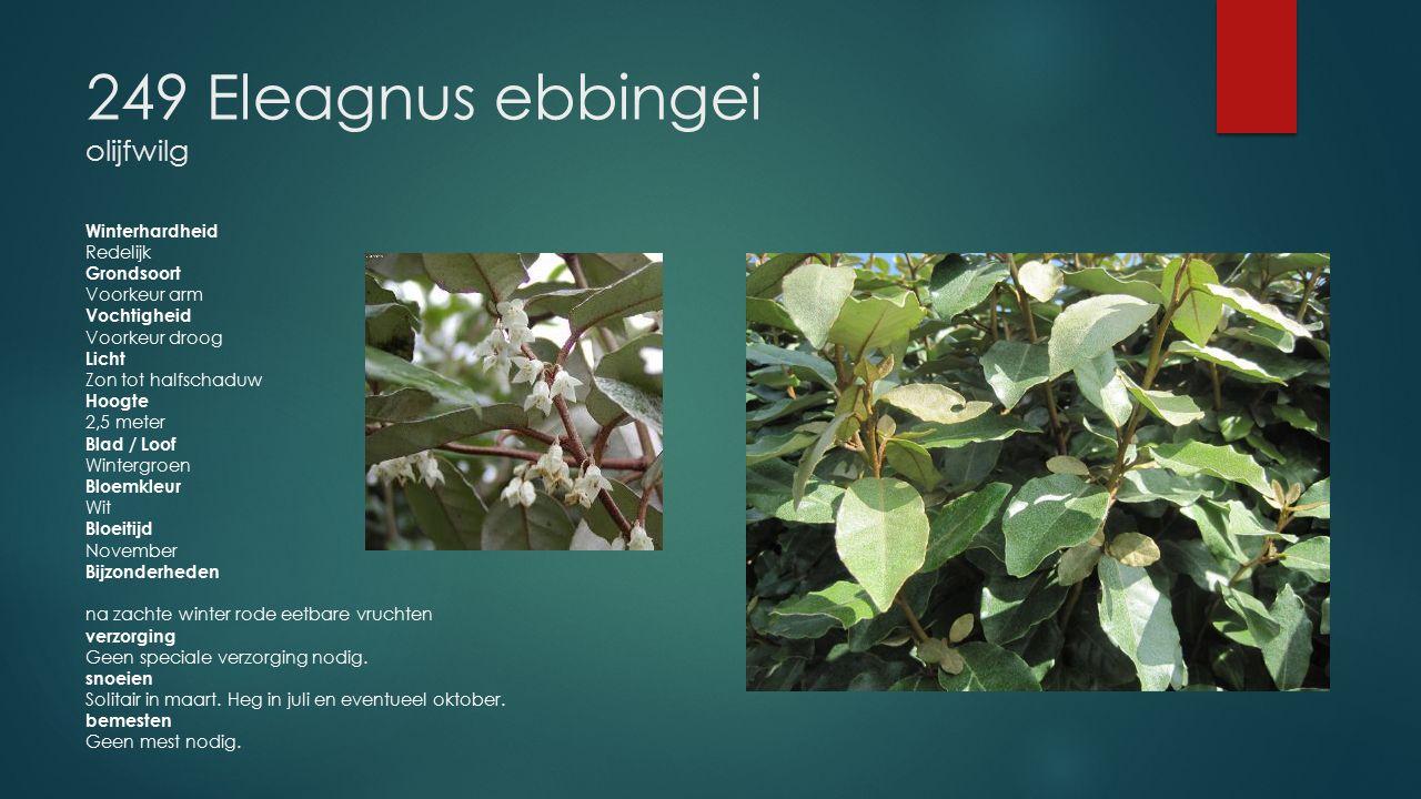 249 Eleagnus ebbingei olijfwilg