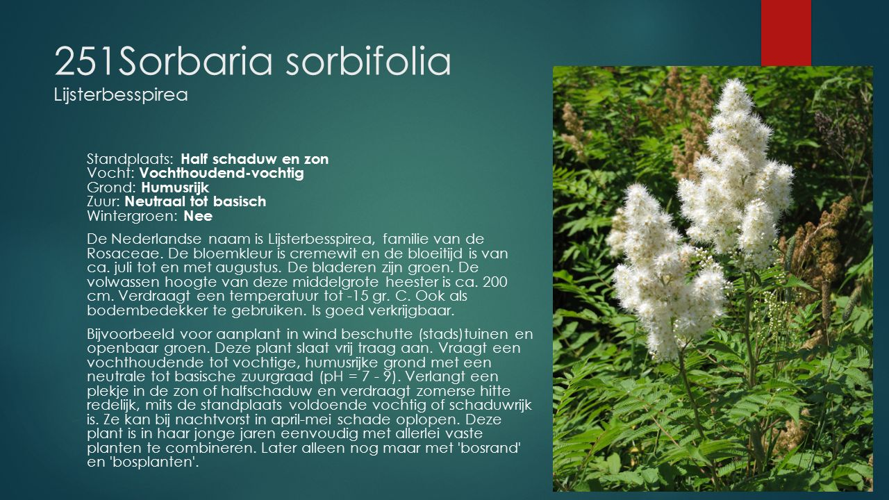 251Sorbaria sorbifolia Lijsterbesspirea