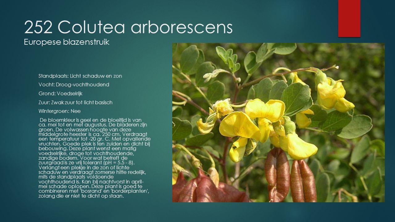 252 Colutea arborescens Europese blazenstruik