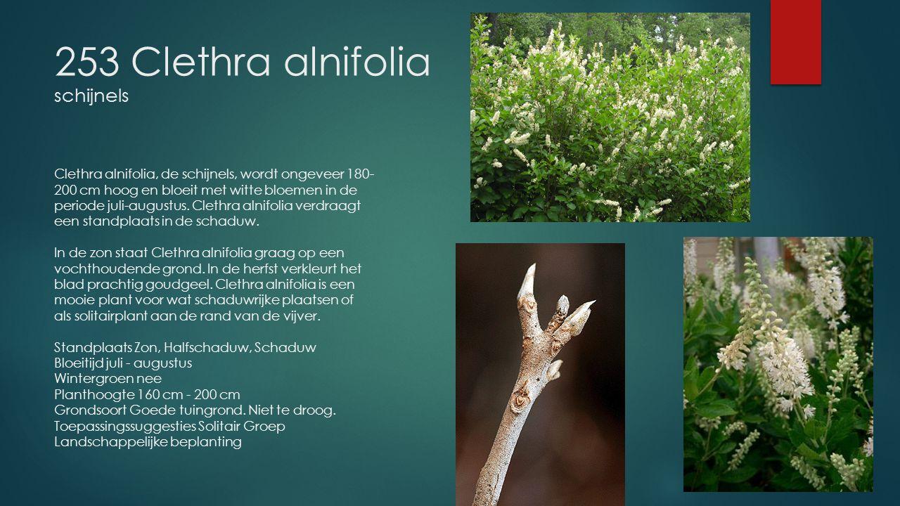 253 Clethra alnifolia schijnels
