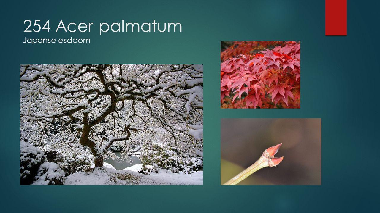 254 Acer palmatum Japanse esdoorn