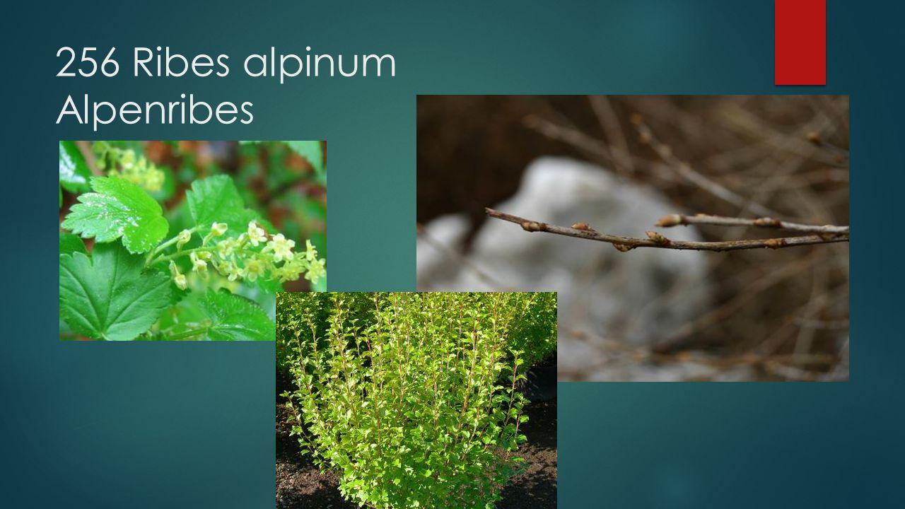 256 Ribes alpinum Alpenribes