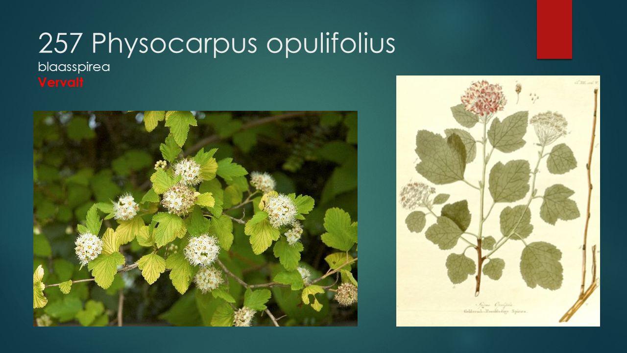 257 Physocarpus opulifolius blaasspirea Vervalt