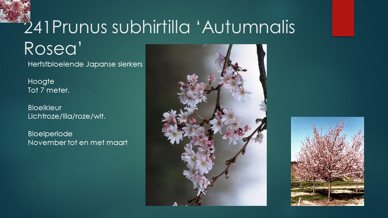 241Prunus subhirtilla 'Autumnalis Rosea'