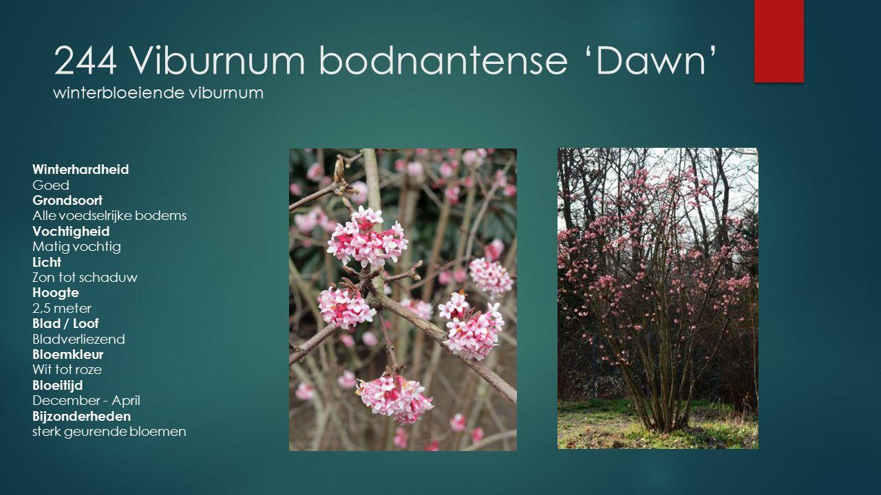 244 Viburnum bodnantense 'Dawn' winterbloeiende viburnum