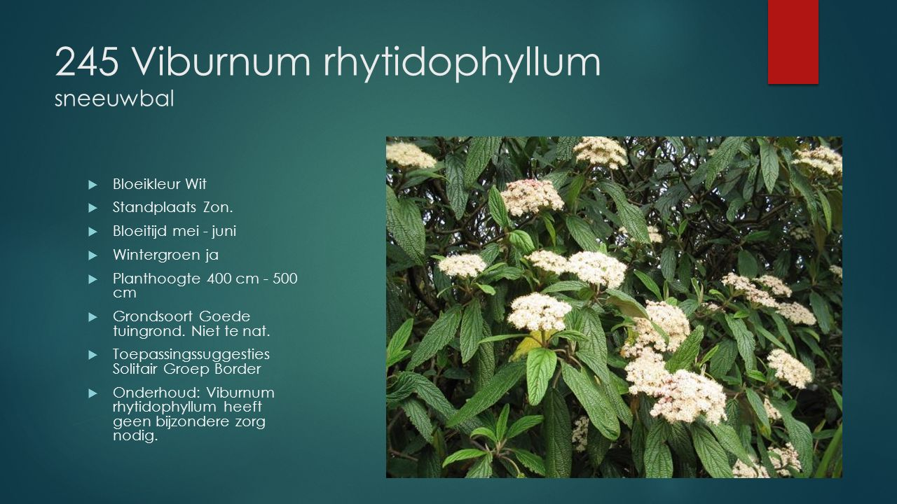 245 Viburnum rhytidophyllum sneeuwbal