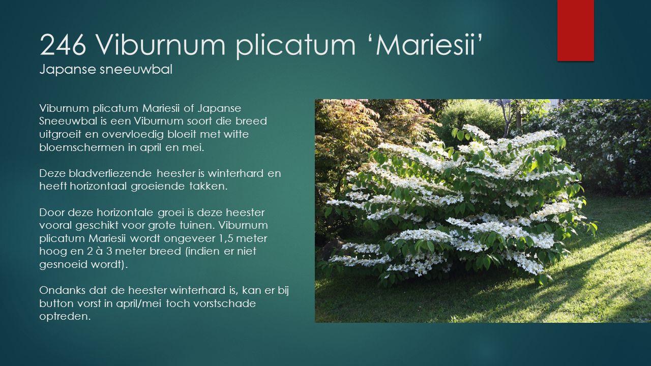 246 Viburnum plicatum 'Mariesii' Japanse sneeuwbal