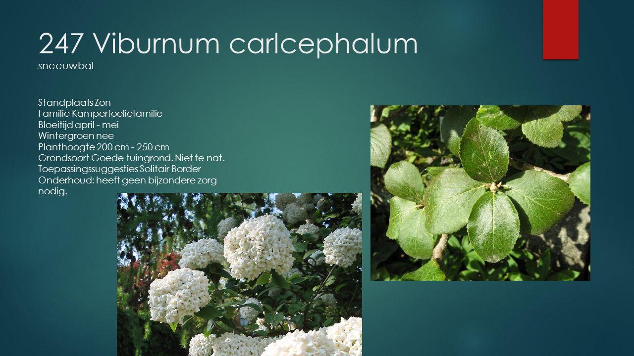 247 Viburnum carlcephalum sneeuwbal