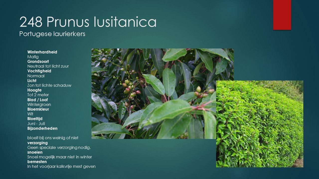 248 Prunus lusitanica Portugese laurierkers