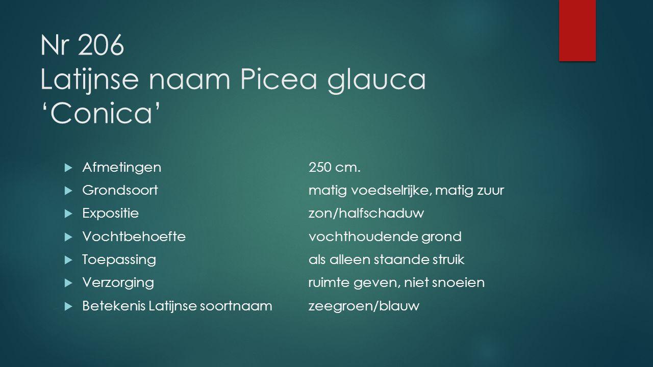 Nr 206 Latijnse naam Picea glauca 'Conica'