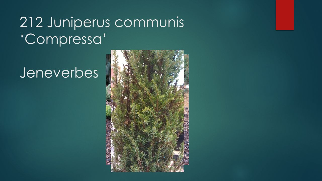 212 Juniperus communis 'Compressa' Jeneverbes