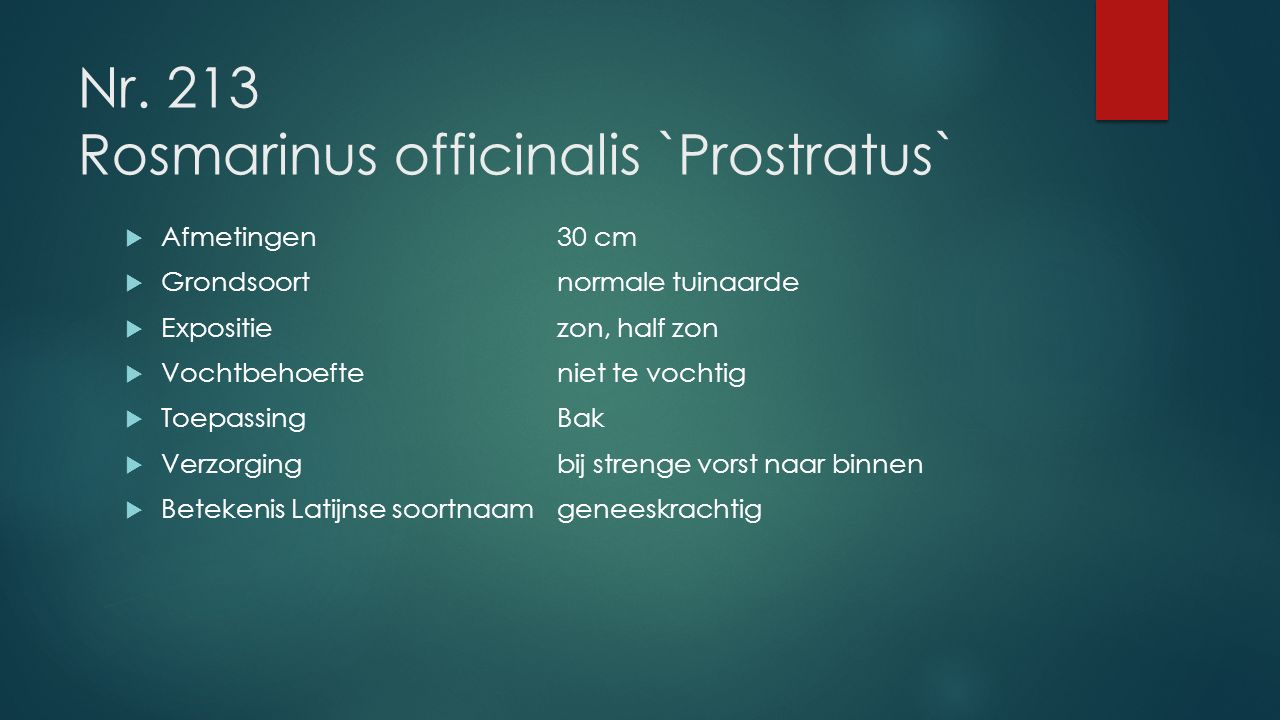 Nr. 213 Rosmarinus officinalis `Prostratus`