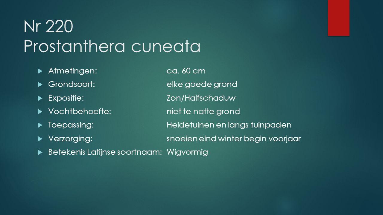 Nr 220 Prostanthera cuneata