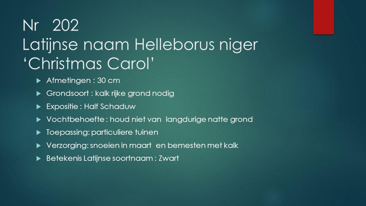 Nr 202 Latijnse naam Helleborus niger 'Christmas Carol'