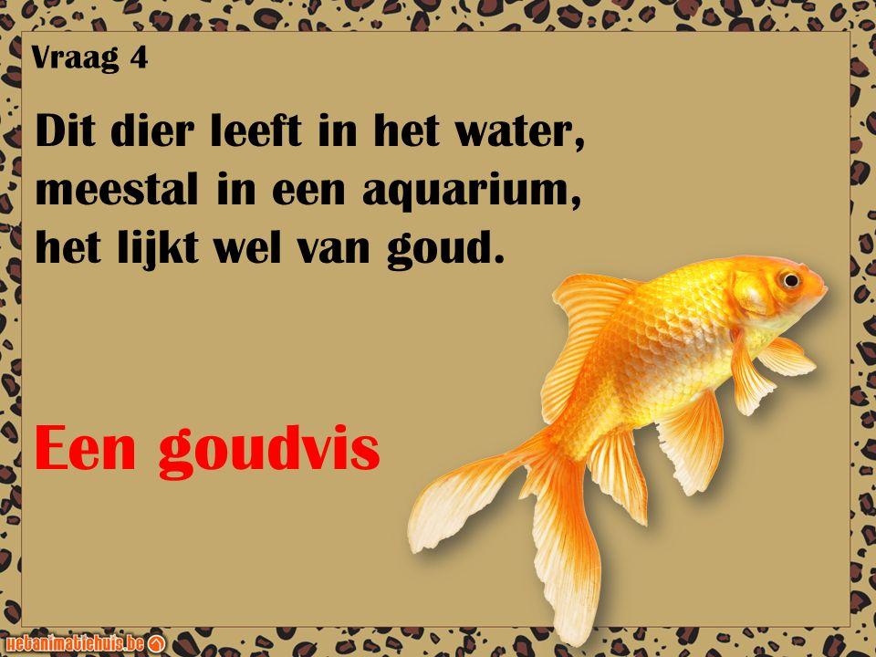 Een goudvis Dit dier leeft in het water, meestal in een aquarium,