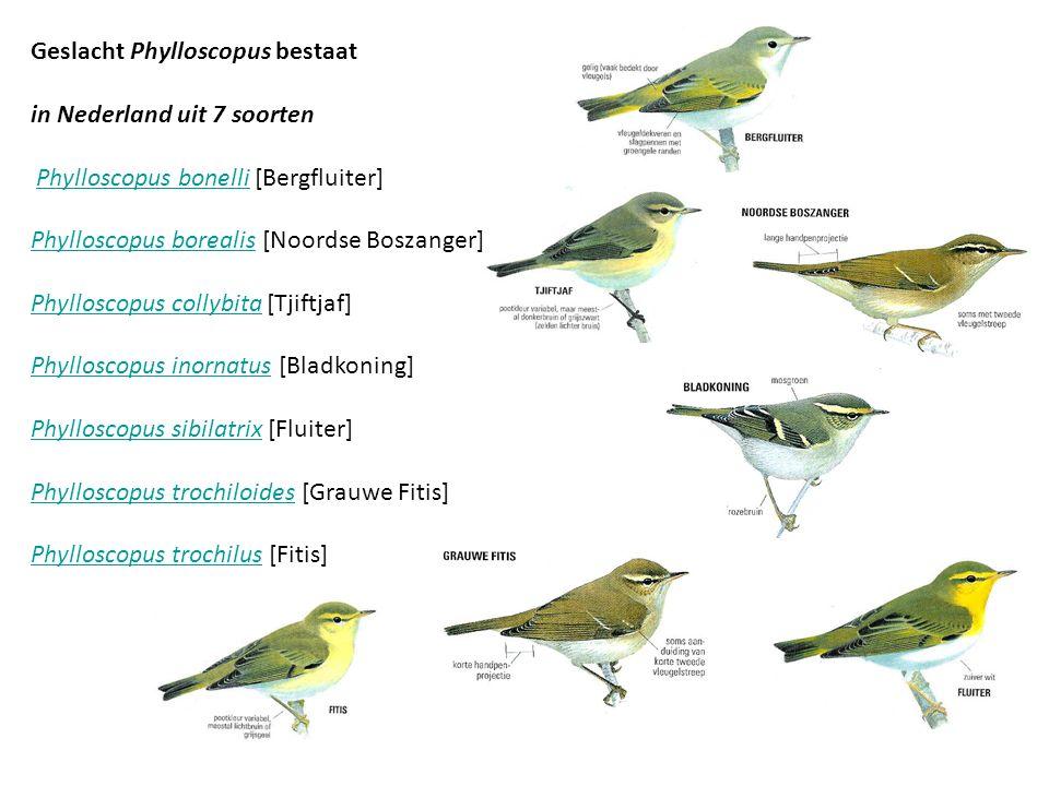 Geslacht Phylloscopus bestaat in Nederland uit 7 soorten
