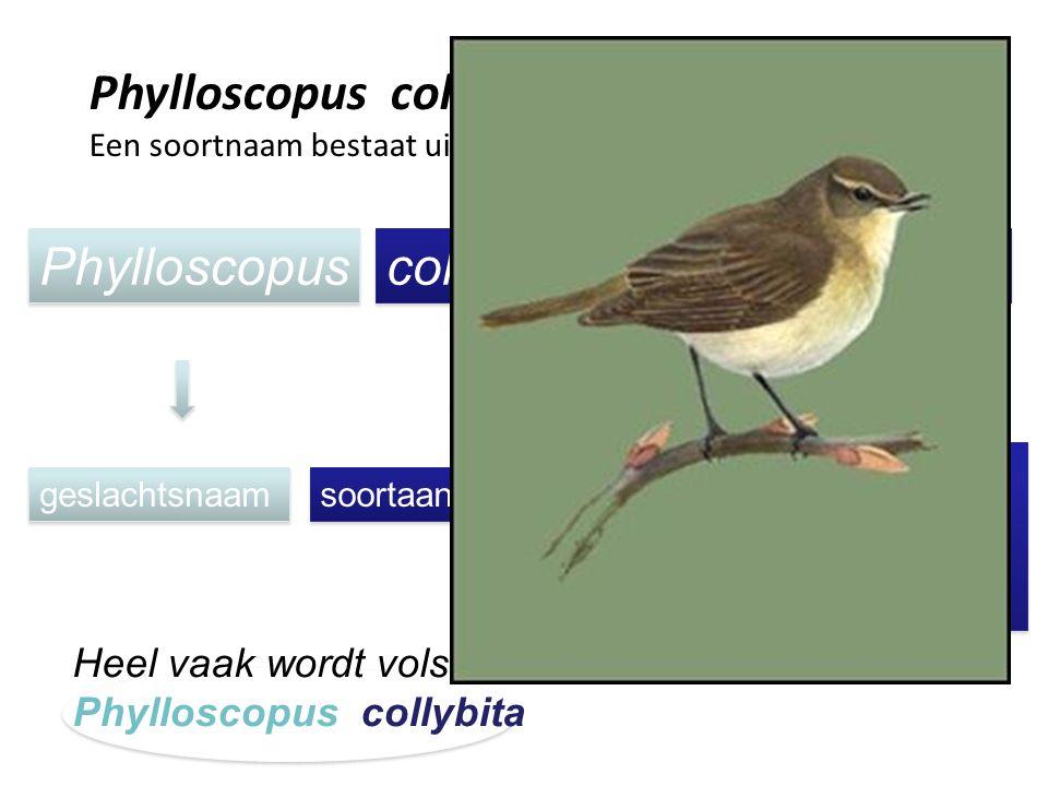 Phylloscopus collybita (Vieillot, 1817)