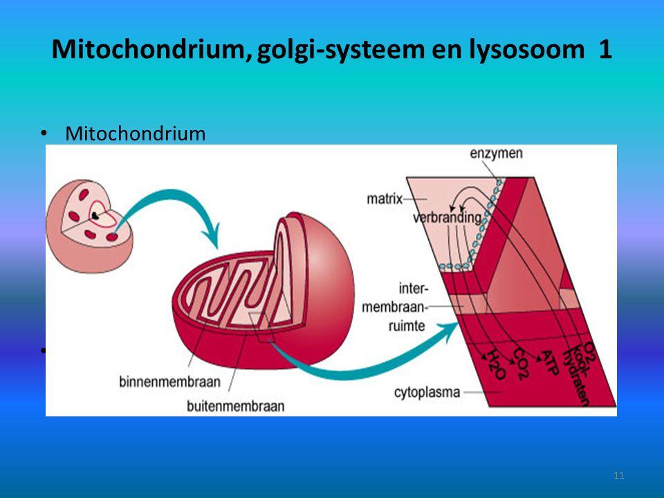 Mitochondrium, golgi-systeem en lysosoom 1