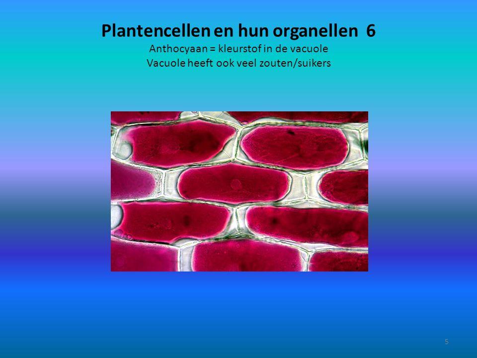 Plantencellen en hun organellen 6 Anthocyaan = kleurstof in de vacuole Vacuole heeft ook veel zouten/suikers