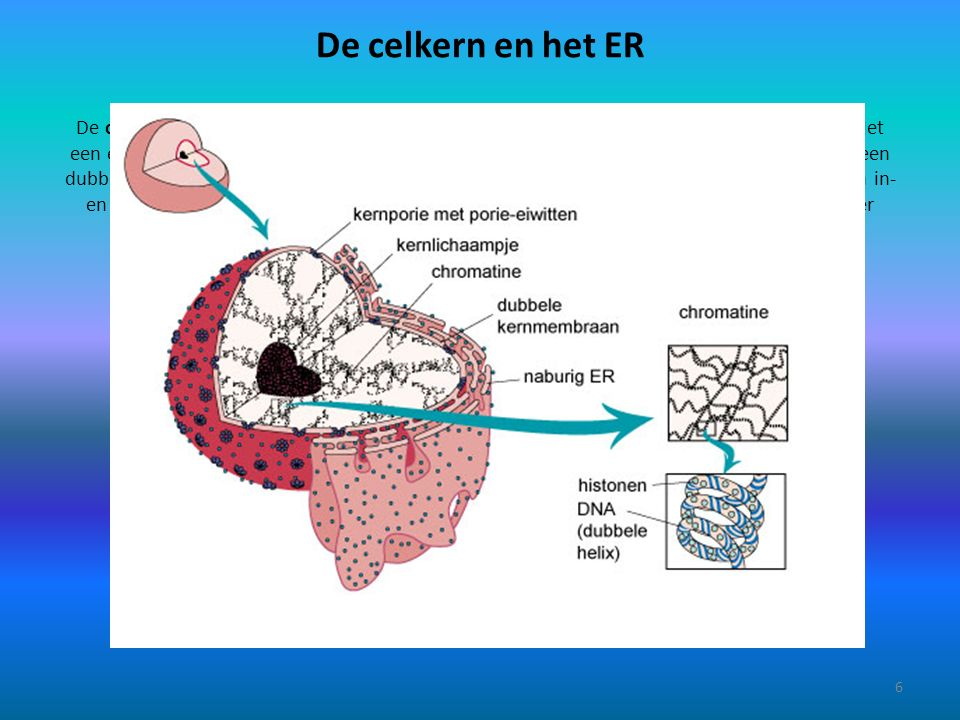 De celkern en het ER De celkern is met een lichtmicroscoop zichtbaar, al zijn er daarmee weinig details te zien.