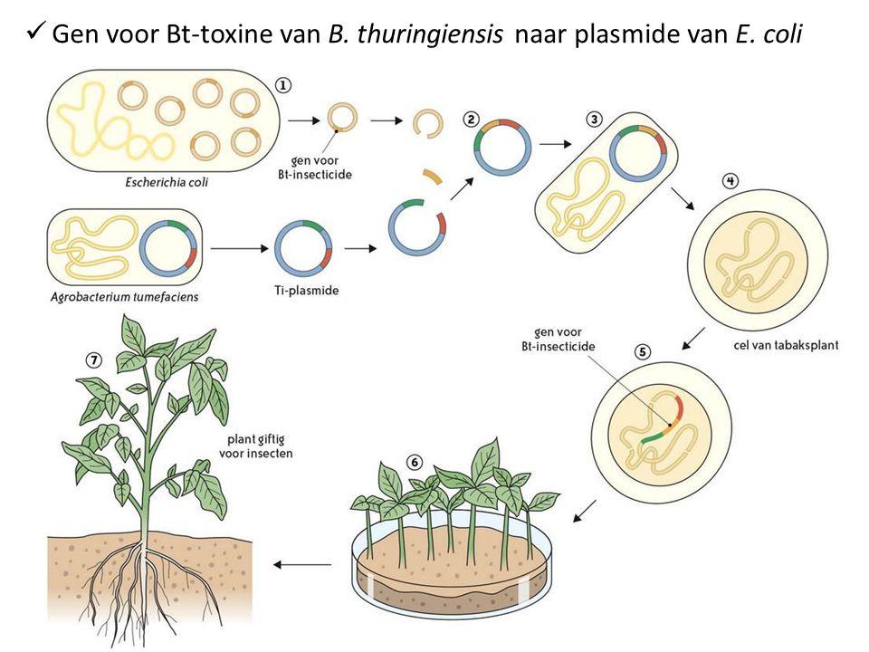 Gen voor Bt-toxine van B. thuringiensis naar plasmide van E. coli