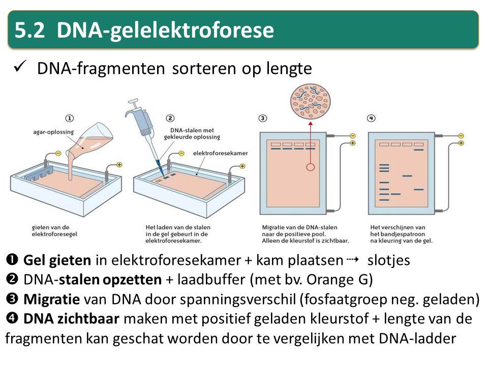 5.2 DNA-gelelektroforese