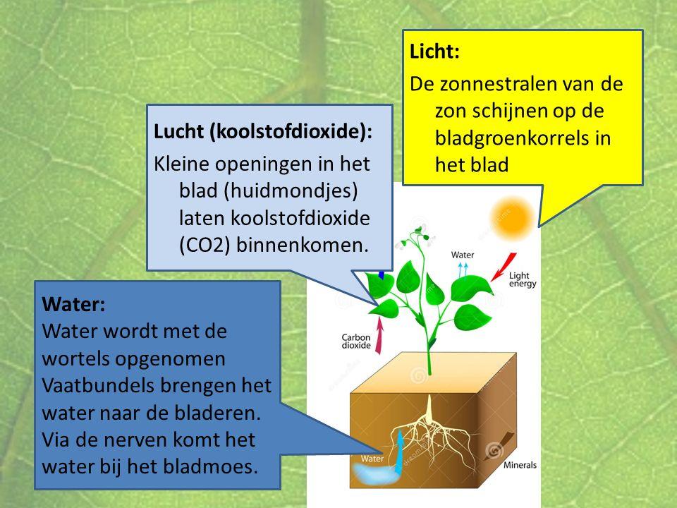 Licht: De zonnestralen van de zon schijnen op de bladgroenkorrels in het blad. Lucht (koolstofdioxide):