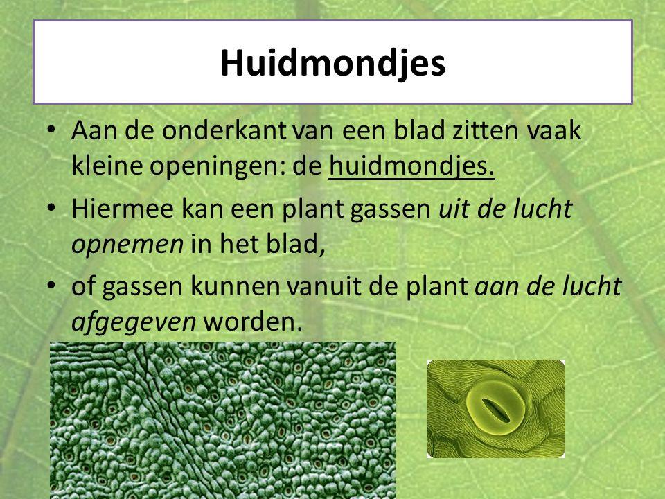 Huidmondjes Aan de onderkant van een blad zitten vaak kleine openingen: de huidmondjes.