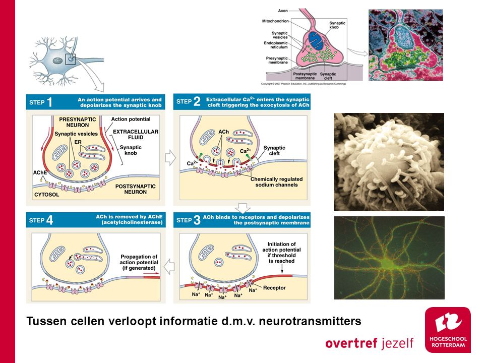 Tussen cellen verloopt informatie d.m.v. neurotransmitters